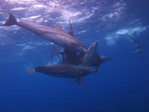 ドルフィンスイムツアーのときの写真です。 御蔵島のイルカ、ドルフィンスイムで出会いました。