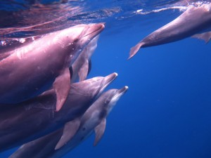 御蔵島のイルカ、ドルフィンスイムで出会いました。
