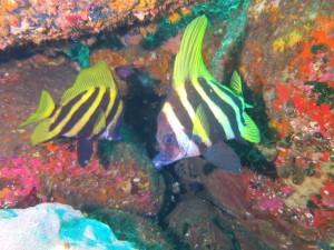 伊豆のダイビングで見る事が出来る魚です