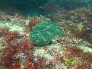 伊豆海洋公園のヒラメ