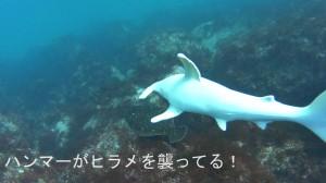 20180401伊豆海洋公園の偽ハンマー