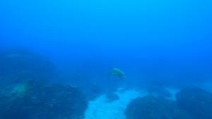 三宅島のウミガメ、アオウミガメ